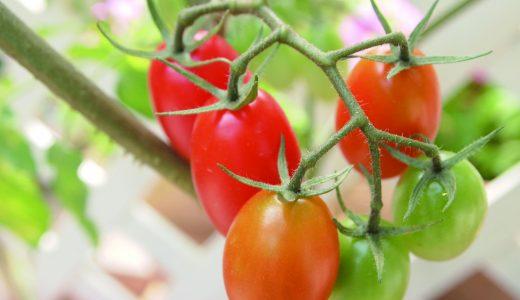 《終了しました》4月27日(土) カゴメ トマトの育て方講習会